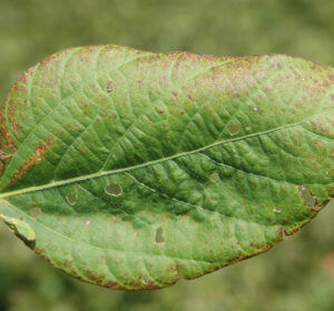 Cercospora Leaf Blight