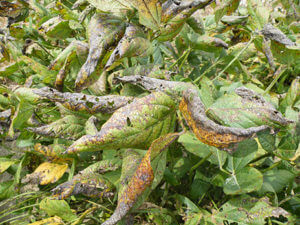 Close up of Blight Symptom