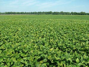 Field Wide Symptoms of Chemical Injury Photo Credit: Anthony Ohmes - Univ. of MO