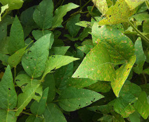 fls variation in susceptibility - right highly susceptible variety-crop-u5095