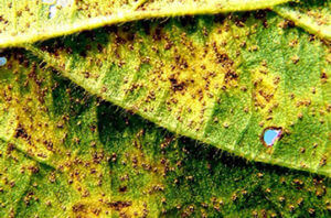 Magnified SBR on Pustules on Underside of Leaf Photo Credit: Melvin Newman - Emeritus UT