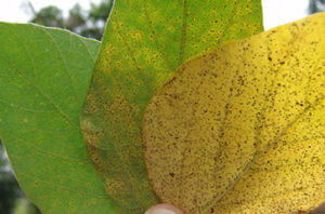 sbr infected leaves - photo credit melvin newman, emeritus ut-crop-u5467