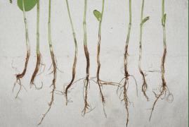 Fusarium root rot 2