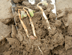 Pre-emergence herbicides