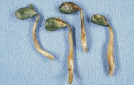 Pythium seedling blight