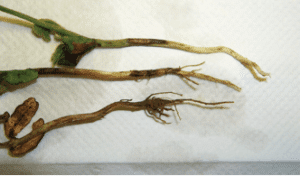 Rhizoctonia seedling blight
