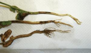 Rhizoctonia seedling blight