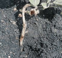 Rhizoctonia seedling blight 2
