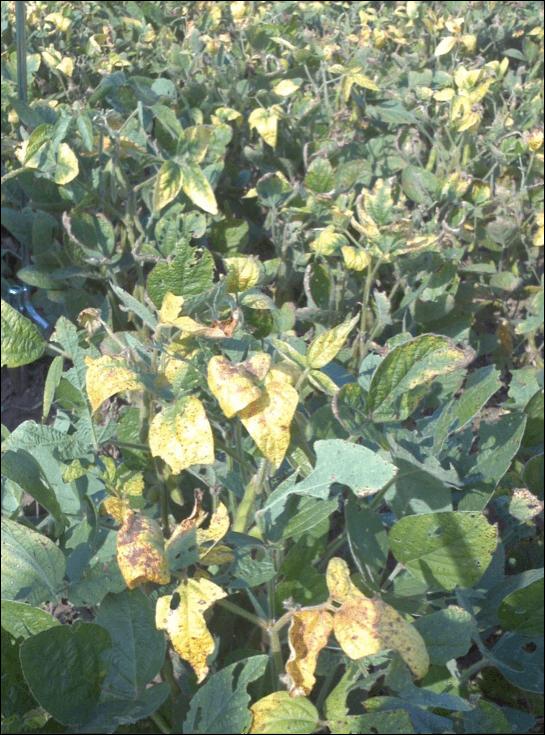Soybean Cyst 2