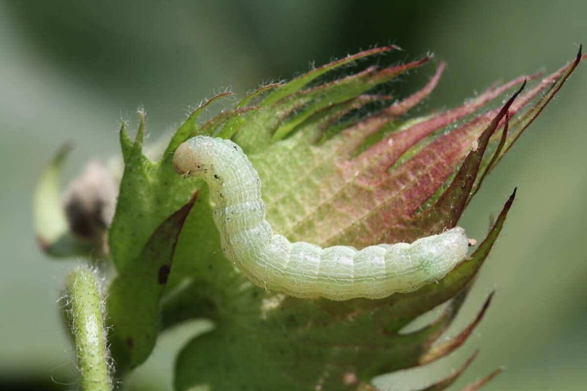 Bollworm and Tobacco Budworm - UT Crops Disease Field Guide