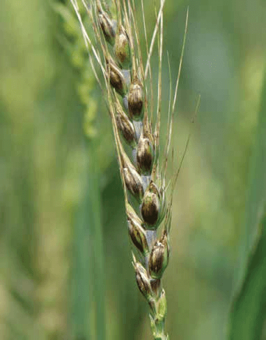 Wheat Disease Identification - UT Crops