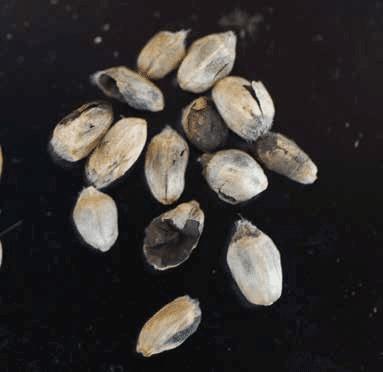 Common bunt - UT Crops Disease Field Guide
