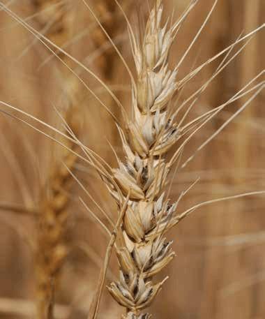 List of wheat diseases - Wikipedia