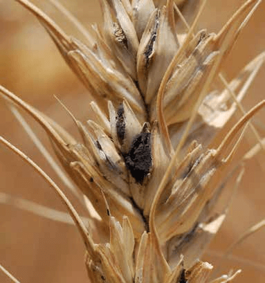 Guide to Wheat Diseases and Pests - USDA