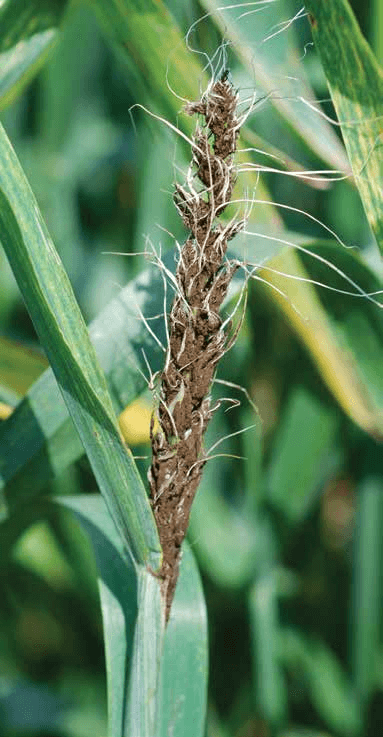 Small Grain Seed Treatment Guide - MSU Extension