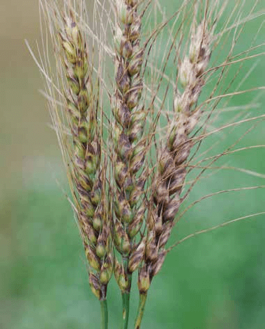 Stagonospora Nodorum Blotch Ut Crops Disease Field Guide