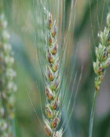 Stagonospora nodorum blotch - UT Crops Disease Field Guide