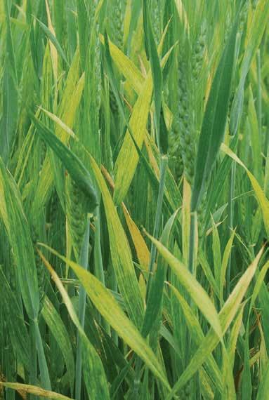 wheat streak mosaic