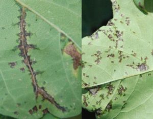Close-up of lesions of Angular Leaf Spot. (Photo credit: Tom Allen)