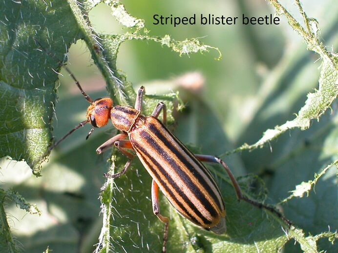 Mustang Performance Parts >> Blister Beetle, Japanese Beetle, and Mexican Bean Beetle ...